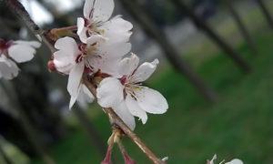深堂の桜・畑のしだれ桜2010バージョン